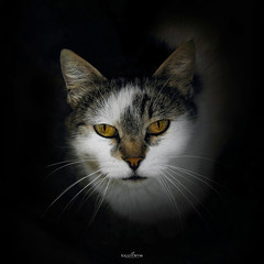 I am hungry (dim.pagiantzas | photography) Tags: cats cat animals mammals eyes honeyed honey felines pets portrait look black vignette