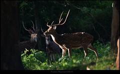 The forest never ceases to surprise you. (pradiptomajumder) Tags: axis deer herd antler spotteddeer
