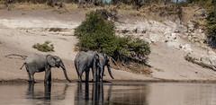 1C5A1196.jpg (donnatopham) Tags: botswana laroolatau elephant
