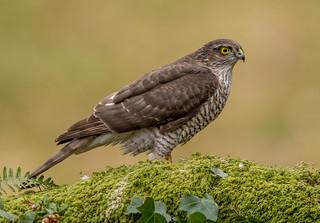 JWL9340 Sparrowhawk..