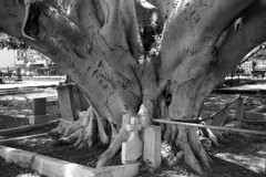 Graveyard Tree (Miroku Bosatsu) Tags: leica elmar 35mm arista caffenolc analog blackandwhite 808 luckylivehawaii luckywelivehawaii gossen tree graveyard grave film diy homebrew instagram pictureoftheday picoftheday flickr honolulu hawaii rangefinder shootfilmstaybroke shootfilmnotmegapixels shootfilmnotbullets shootfilmstaypoor analogphotography