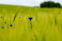 Cornflower (Bakuman3188) Tags: kornblume cornflower kornblomst bleuet ruiskaunokki aciano ヤグルマギク garðakornblóm korenbloem 수레국화 kornblom chaberbławatek centaureacyanus 矢車菊 blåklint василёксиний
