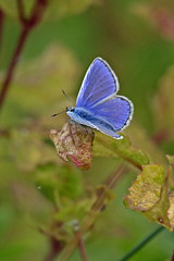 Common Blue (m) (Roy Lowry) Tags: commonblue burtonmerewetlands butterfly polyommatusicarus