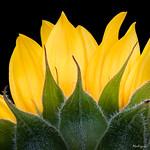 Sun Flower - Fleur de soleil thumbnail