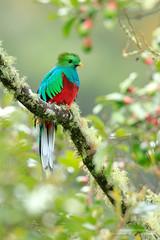 Resplendent Quetzal (www.NeotropicPhotoTours.com) Tags: pharomachrusmocinno resplendentquetzal costarica juancarlosvindas fulllength colorimage sideview nature photography bird littleavocado