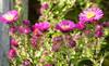 2017 Germany // Unser Garten - Our garden // im September // Aster (maerzbecher-Deutschland zu Fuss) Tags: 2017 garten natur deutschland germany maerzbecher garden unsergarten september aster