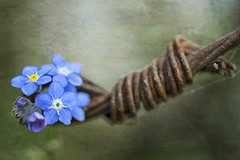 Rust and blue (borealnz) Tags: blue rust wire macromondays forgetmenot flower focus small macro spring pretty contrasts bokeh