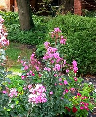 little flower bed in september......2017-09-12 (wintersoul1) Tags: flowers garden pink pinkandgreen vinca