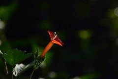 20170913_040_2 (まさちゃん) Tags: 小さな花 雌しべ 雄蕊 雌蕊 雄しべ