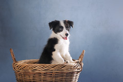 'Hope in a Basket' (Jonathan Casey) Tags: border collie puppy basket cute dog nikon 105mm f28 d810 studio