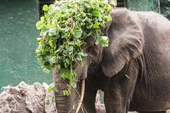 CON PARRUCCA.   ----    WITH WIG (Ezio Donati is ) Tags: animali animals elefanti elephant natura nature foresta forest africa costadavorio areagrandlahou fiume river fattoria farm