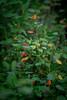 orange ones (severalsnakes) Tags: kansas pentax rokinon8514 saraspaedy shawnee shawneemissionpark k1 manualfocus