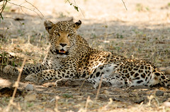 Trying to stay cool during the heat of the day! (lyn.f) Tags: leopard pantherapardus chobenationalpark botswana bigcat