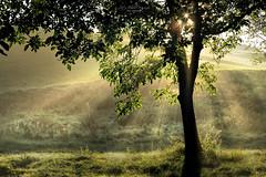 Autumn sunlight - explore (Rita Eberle-Wessner) Tags: baum tree landschaft landscape gras grass wiese meadow nebel fog blätter laub leaves sonne sonnenstrahlen sunrays sunbeams blendenstern sonnenstern herbst autumn fall odenwald tyndalleffect tyndalleffekt