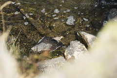 """Spotted Sandpiper • <a style=""""font-size:0.8em;"""" href=""""http://www.flickr.com/photos/63501323@N07/37181234692/"""" target=""""_blank"""">View on Flickr</a>"""
