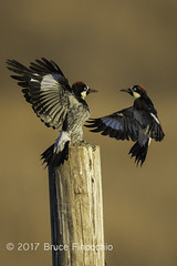 Two Acorn Woodpeckers Face Off (brucefinocchio) Tags: twoacornwoodpecker woodpecker acornwoodpecker faceoff fencepost stanford stanforddishtrail melanerpesformicivorus bird avian twobirds standoff peninsula northerncalifornia