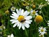 Acker-Hundskamille (Martin To.) Tags: sommerblume wiesenblume wildblume flora biotop blume flower martin tolle nature natur wiese makro pflanze norddeutschland germany garten ackerhundskamille anthemis arvensis