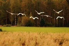 The flight of swans (irio.jyske) Tags: landscape nature naturephoto animal birds swans field forest grain trees colors flight autumn canon canoncamera canonlens canonphoto