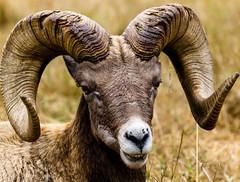 You looking at me, kid? (FlintWeiss) Tags: ram 60d wa horns nwtrek bighornsheep canon 2017 ef100400f4556lisiiusm washington