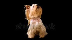 Yorkshire terrier. Alpha channel included. (daria.boteva) Tags: adorable adult alpha alphachannel animal background black breed brown camera canine carnivore channel creature cub cute dog doggy domestic friend fur furry glamour hair haired isolated lap little looking mammal months panting pedigree pedigreed pet portrait pup puppy purebred ribbon shot sitting suited terrier whelp york yorkie yorkshire