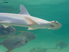 OCEANOGRÀFIC 2 (Sachada2010) Tags: sachada sachada2010 javier martin olympus epl6 valencia micro 43 panasonic 14mm zuiko 8mm 45mm f18 40150mm r shark jaw tiburon martillo cria oceanografic 9mm fisheye