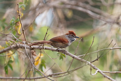 Sooty-fronted Spinetail - petrim (Synallaxis frontalis) (Gabriel Büll) Tags: sootyfrontedspinetail petrim synallaxisfrontalis nikond3100 nikonafsnikkor300mmf4difed animalplanet birdwatching birdsofbrazil birds wildlifesouthamerica nationalgeographicwildlife