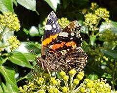 September butterfly (katy1279) Tags: butterflyredadmiralautumnnaturebeauty