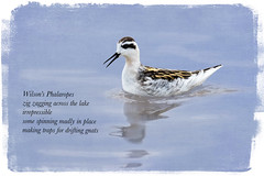 Wilson's Phalarope ~ Tanka Poem (Johnrw1491) Tags: wildlifepoetry poetry wilsons phalarope birds art digital illustration wildlife shorebirds nature creative writing marshland