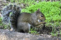 ardilla animales en San Francisco California EEUU 02 (Rafael Gomez - http://micamara.es) Tags: ardilla animales en san francisco california eeuu