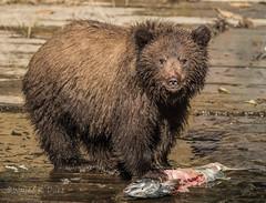 ND5_5030.jpg Cub with Salmon (Wayne Duke 76) Tags: animals grizzly bear fur salmon cub
