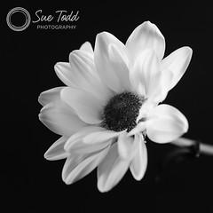 Monochrome she said, Ok I said .... (Sue_Todd) Tags: commercialphotographer flower flowers singleflower suetodd vegetation productphotographer suetoddphotography