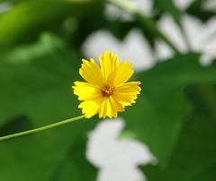 Rudbekia lumineux (Ezzo33) Tags: france bordeaux gironde fleur fleurs flowers rouge rose mauve jaune ezzo33 sony rx10m3 jardin parc