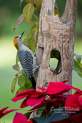 Christmas Woodpecker