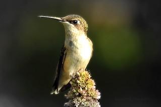 Hummingbird in the morning light