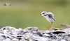 Jump (dhfore) Tags: pipingploverchick pipingplover plover bird nature 2017 shorebird milford connecticut ct