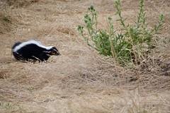 Stinky (Tripawd) Tags: coyotehillsebparksok skunk mammal wildlife critter