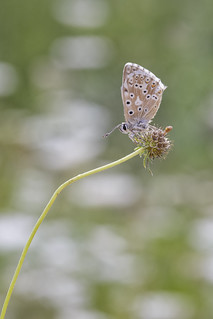 Polyommatus