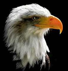 Focused (10000 wishes) Tags: birdofprey bird baldeagle raptor portrait wildlifephotography beak stare american power wildlife