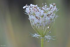 The white crown (Thijs de Bruin) Tags: flower drops druppel bloem white wit dutch nederlands natuur nature flora macro ngc