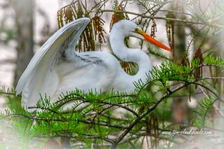 Egret Wings in Tree