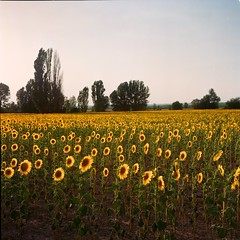 Ready for another morning (davidgarciadorado) Tags: sunflowers circadian evening castilla spain 6x6 120film mediumformat kodakektar rolleiflex zeissplanar ngc