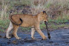 The Winner (Hector16) Tags: africa littlechemchem safari predator tarangirenationalpark wildlife bigcat outdoors tanzania pantheraleo chemchem wilderness lion manyararegion tz ngc