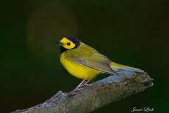 Hooded Warbler (Jamie Lenh Photography) Tags: nature wildlife birds warblers hoodedwarbler nikon d7100 tamron 150600