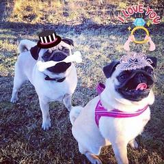 #Repost @kjelleddie ・・・ We sure would make a beautiful bride and groom right? 💞💞💞 #crazypants #dog #dogs #dogstagram #dogoftheday #pug #pugs #pugstagram #pugsofinstagram #pugsnotdrugs #pets #petstagram #a (FluffWonderland) Tags: repost pugsnotdrugs petstagram dogs obsessedwithpugs dogstagram love pugs animals funny crazypants squishyfacecrew beautiful dog cute pugsofinstagram pets darklordpug pugstagram dogoftheday flatnosedogsociety bride pug happy groom weeding