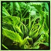 Green alien. #takoma #dc #dclife #washingtondc #iPhone365 #iPhone7plus #iPhone #iPhonemacro #macro  #flower #flowersofinstagram #sunflower #wannabe (Kindle Girl) Tags: iphone sunflower takoma dc dclife washingtondc iphone365 iphone7plus iphonemacro macro flower flowersofinstagram wannabe
