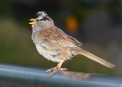 White Crowned Sparrow (Stuart Axe) Tags: canada bird tree nature gardenbird whitecrownedsparrow sparrow vancouver britishcolumbia coalharbour