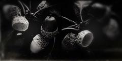 Musical Chairs-11283 (Poetic Medium) Tags: moldiv nature stilllife acorns blackandwhite snapseed kitcamghostbird ipod diptych