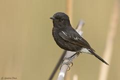 Pied Bushchat (Hardik Pala) Tags: uttarakhand birds pied bushchat passerine