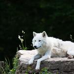Arctic wolf thumbnail