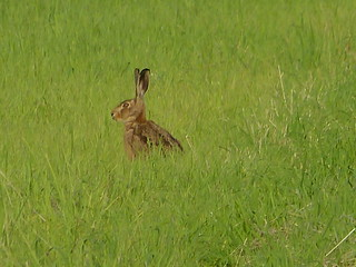 Brown Hare. P1480026